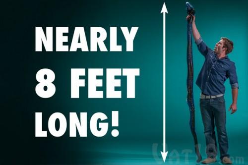 Party Python: 2,5 metri e oltre 12 Kg