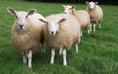 Perché si contano le pecore per addormentarsi?